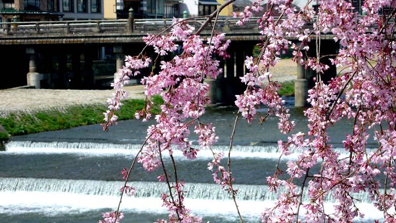 三条大橋と桜。三条大橋から七条大橋にかけて枝垂桜・山吹などが植えられ、「花の回廊」と名付けられている。