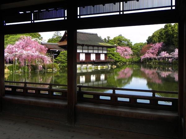 平安神宮の枝垂れ桜