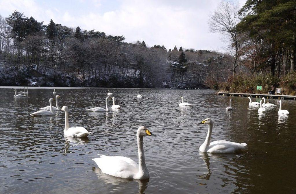 与兵衛沼の白鳥