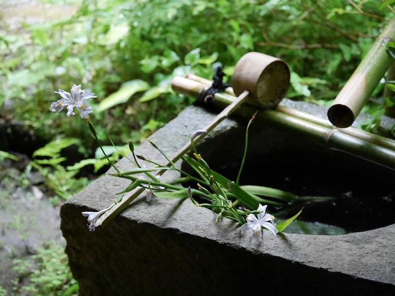 手水鉢のシャガ