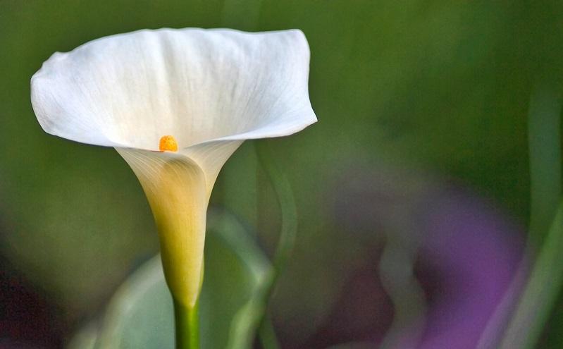 仏炎苞・カラーの花