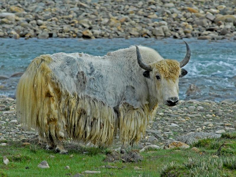 チベットのヤク