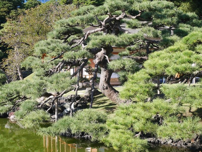 浜離宮恩賜庭園の松の木
