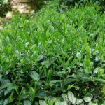 自分の茶畑を持つ。数千円から申し込める日本各地の「茶畑オーナー制度」